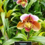 Paphiopedilum, also known as the Venus slipper orchid