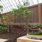 A windswept bonsai at Phipps' Orchid and Tropical Bonsai Show