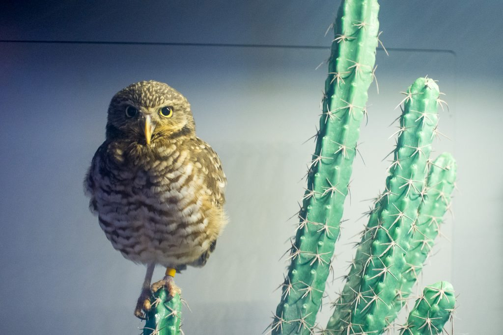 burrowing-owl-1